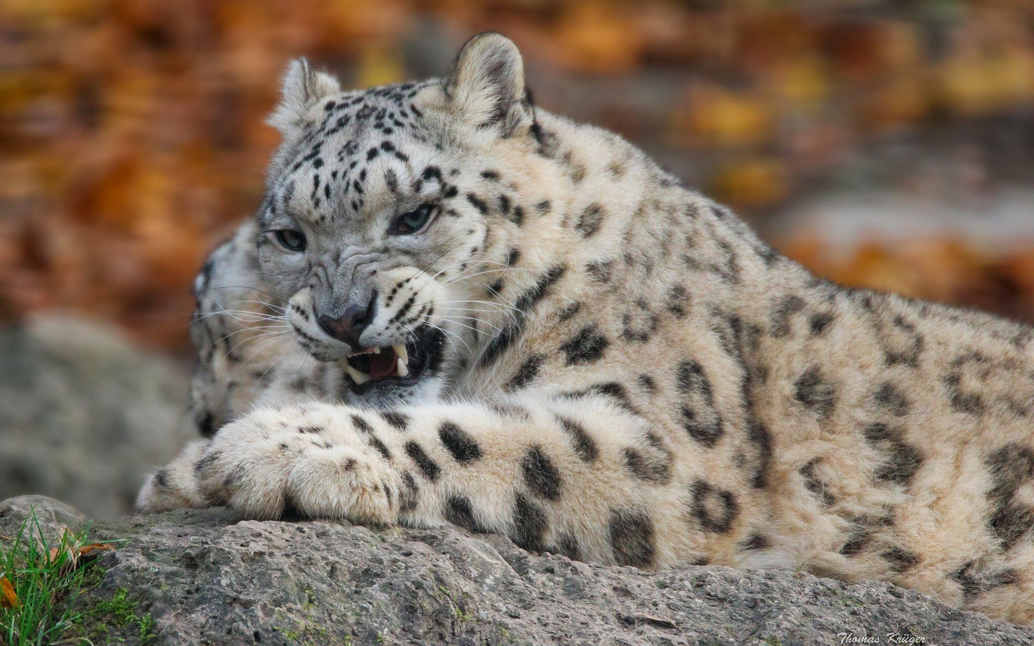 фото белого леопарда здесь главный