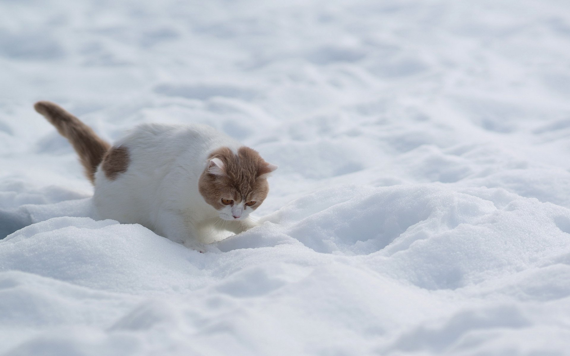 Winter Kitten Wallpaper Cat White Red Snow Winter