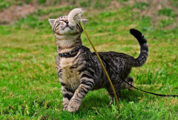cat dandelion grass wallpaper