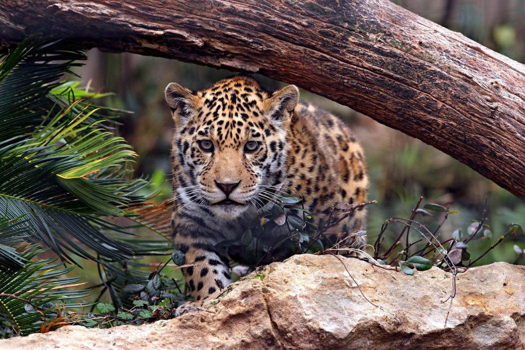 jaguar predator cat wallpaper