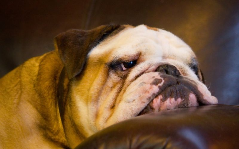 dog english bulldog muzzle wallpaper