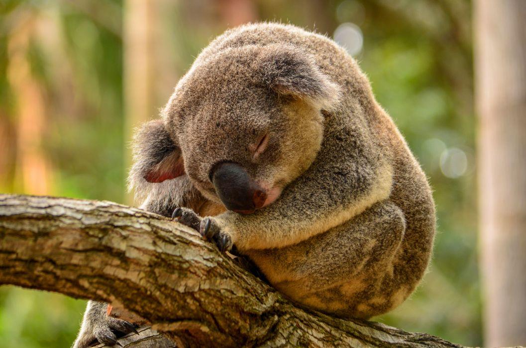 koala forest wallpaper