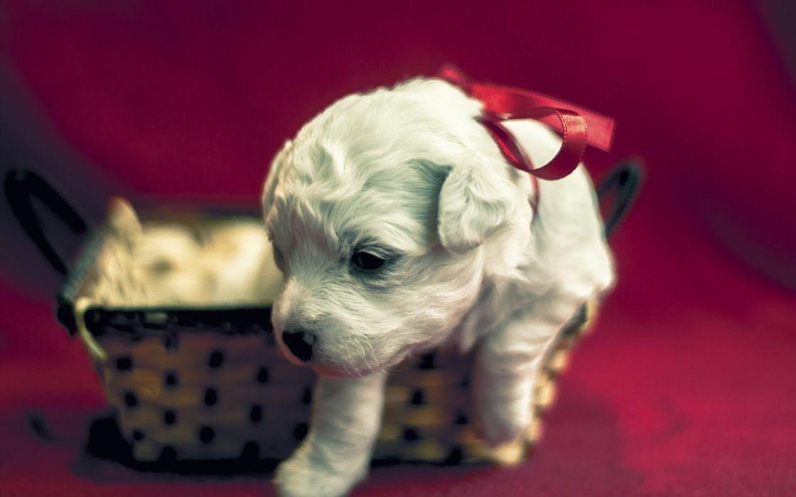 dog puppy christmas holiday baby wallpaper