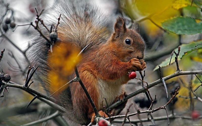 squirrel forest tree berry wallpaper