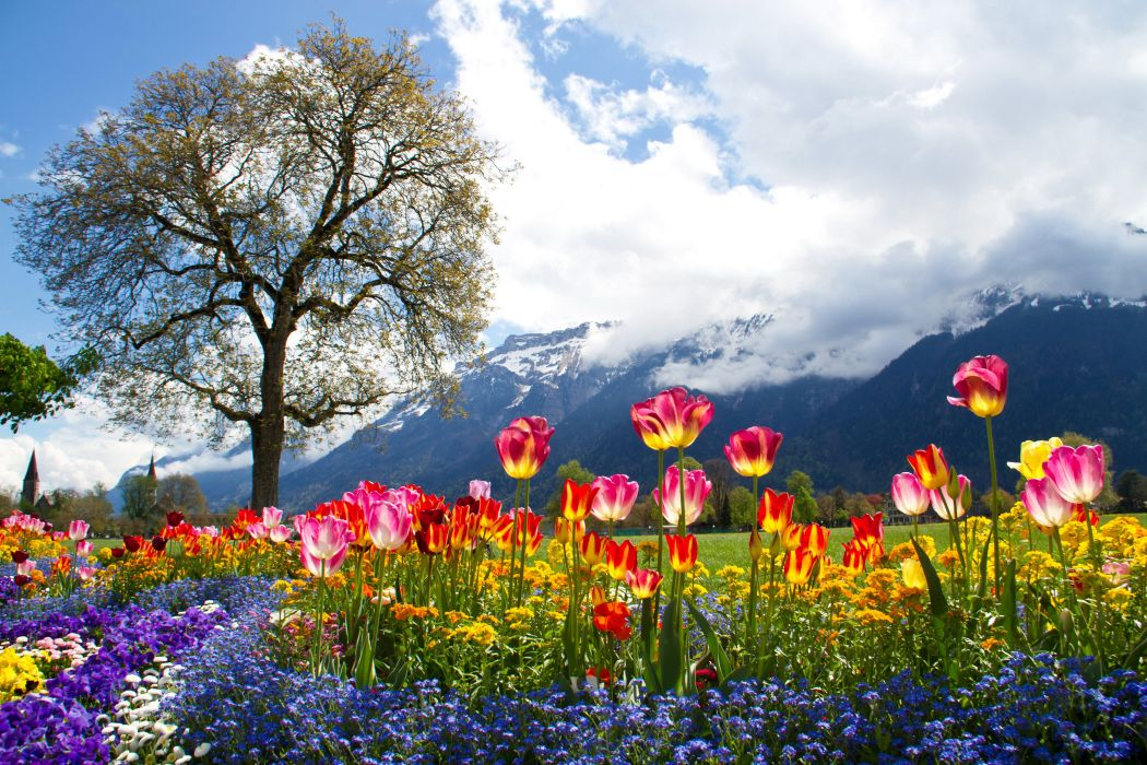 Scenery Mountains Tulips Bellis Petunia Alps Clouds Trees Nature tulip meadow wallpaper