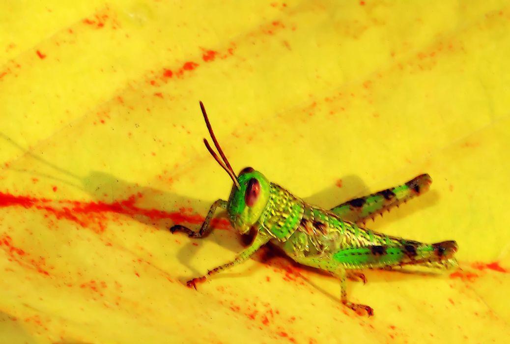 GRASSHOPPER insect wallpaper