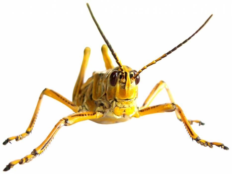 GRASSHOPPER insect wallpaper