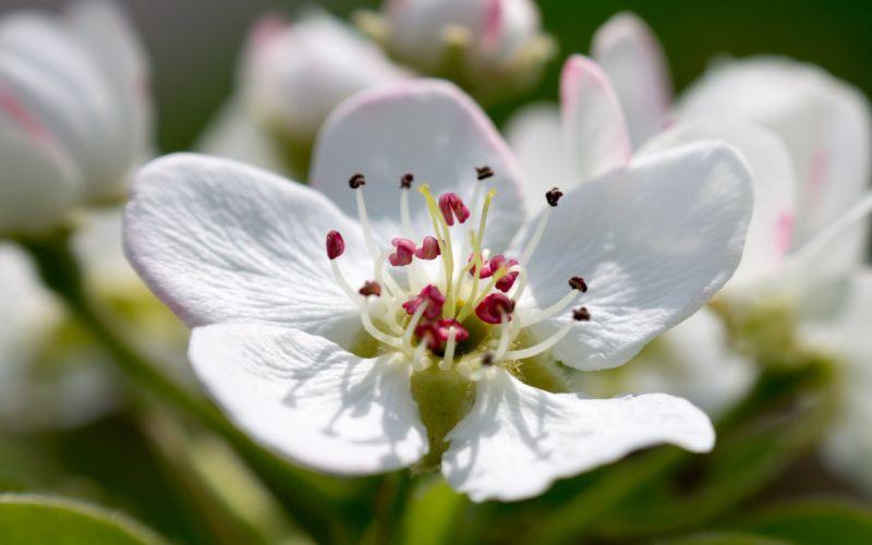 Pear blossom flower wallpaper