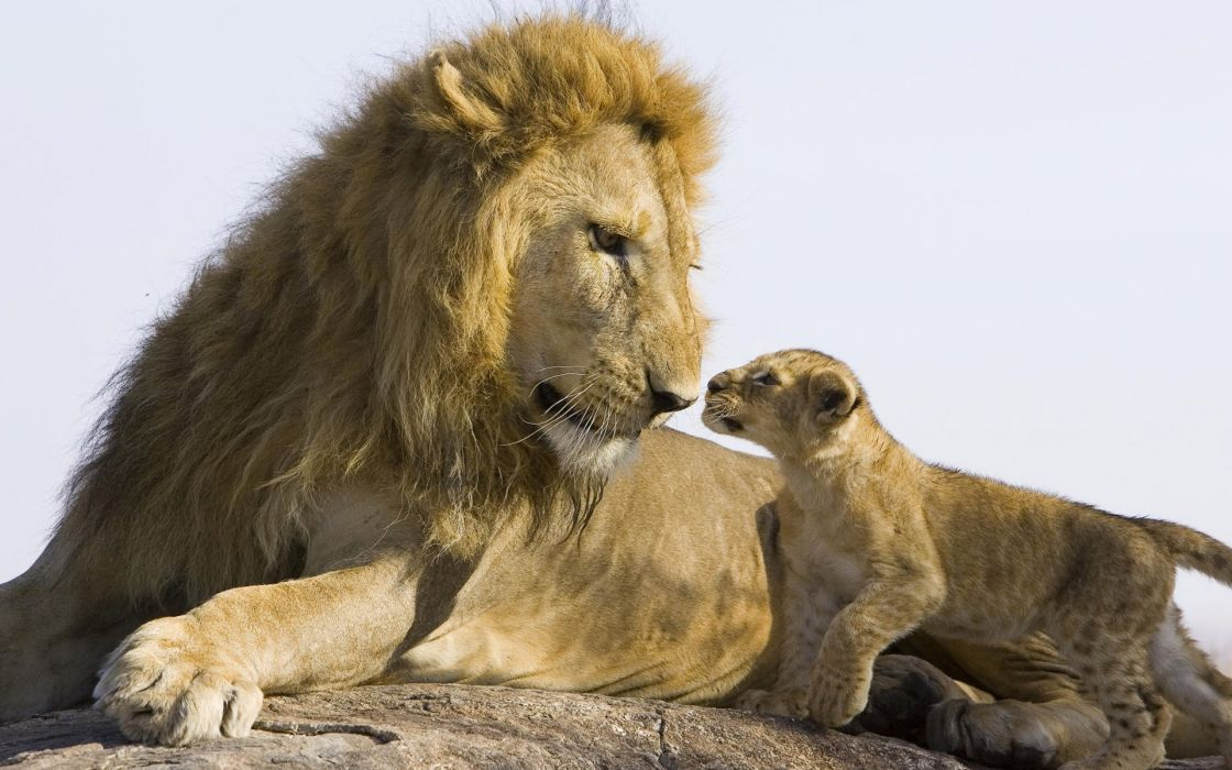Lion Family Conversation baby wallpaper