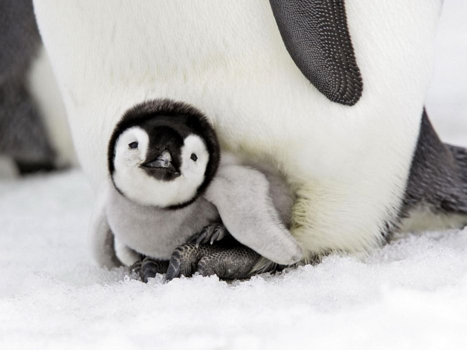 Penguin baby birds snow winter wallpaper