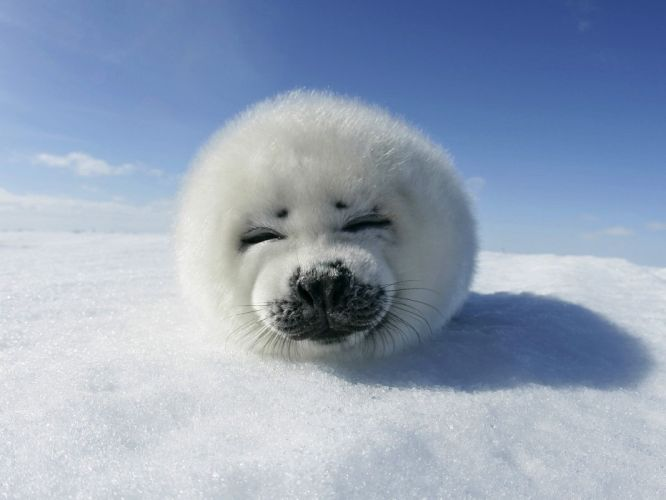 Baby Animals Harp Seal snow wallpaper