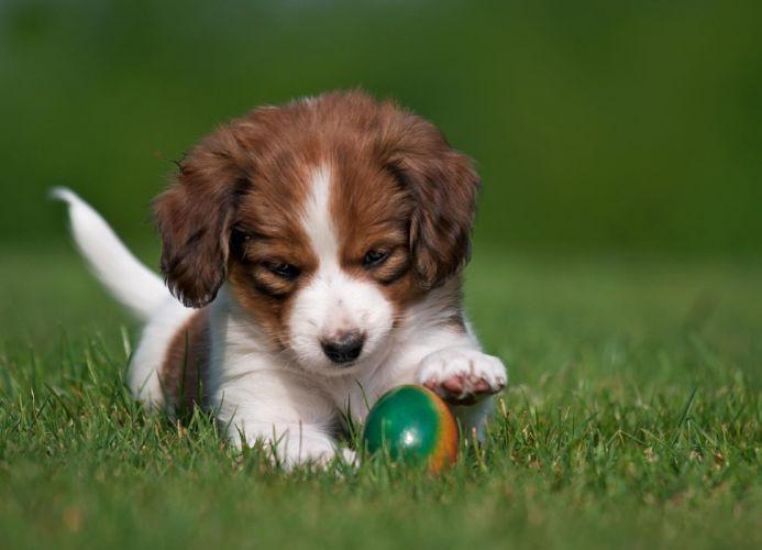 Dog puppy nature grass egg koikerhonde easter wallpaper