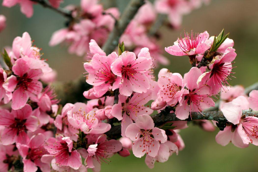 Apple tree bright spring pink flowers petals bloss wallpaper