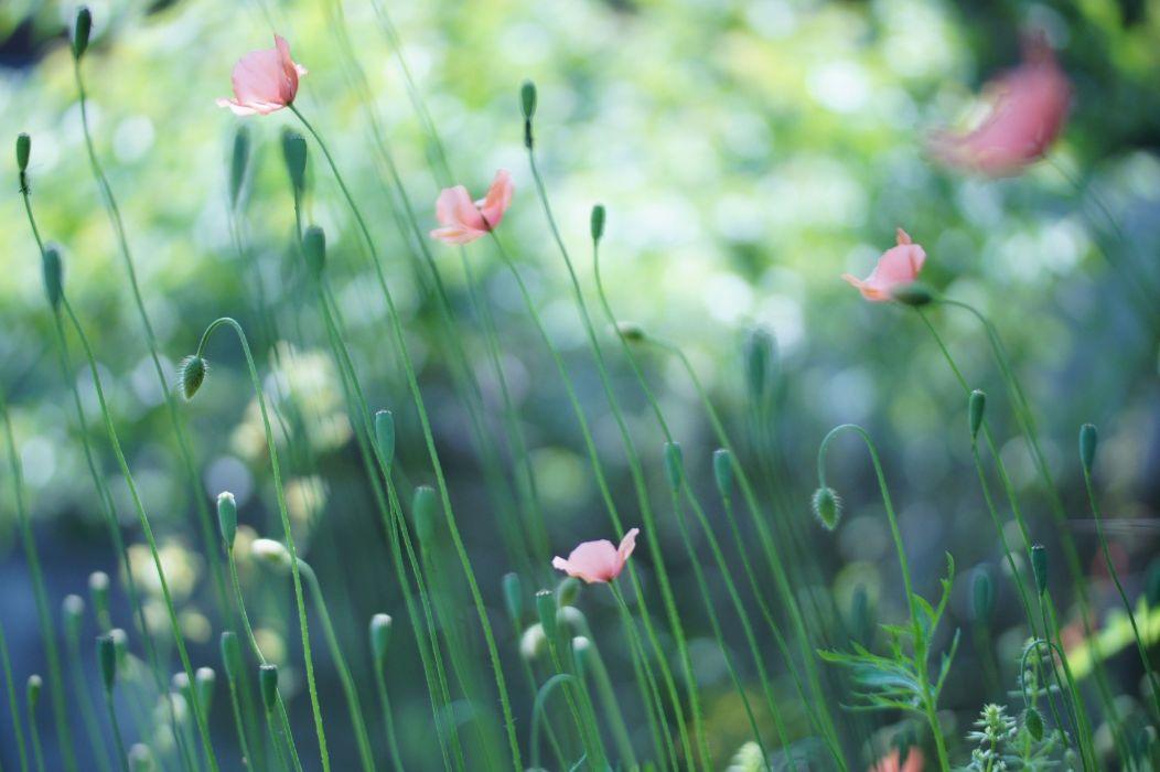 field Poppies pink buds flower wallpaper
