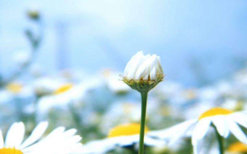 Not open bud daisy flower wallpaper