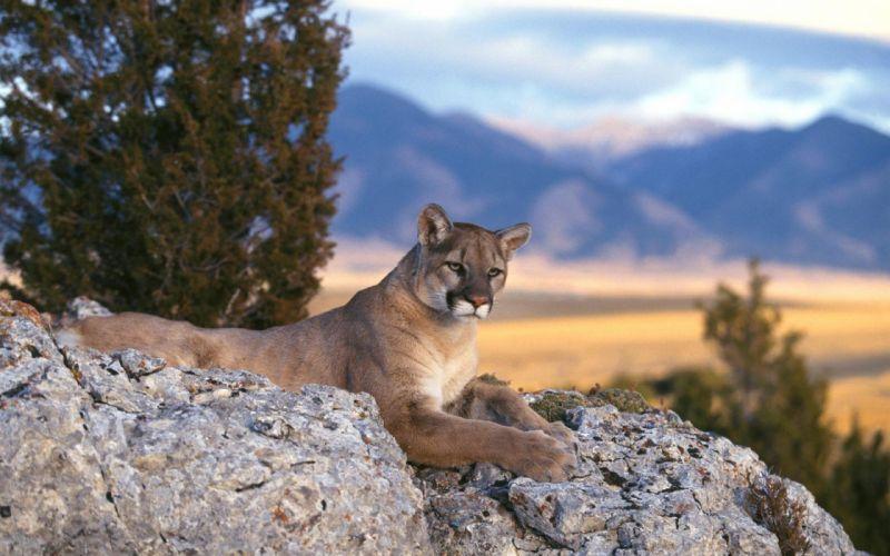 Mountain Cougar wallpaper