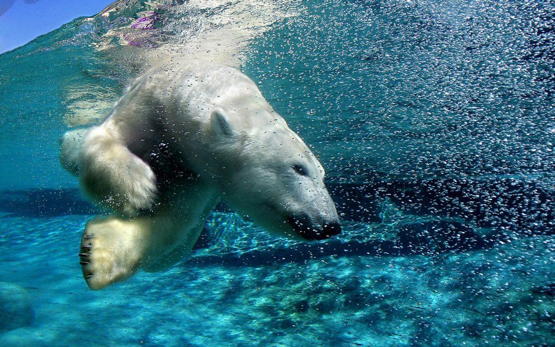 Polar Bear wallpaper