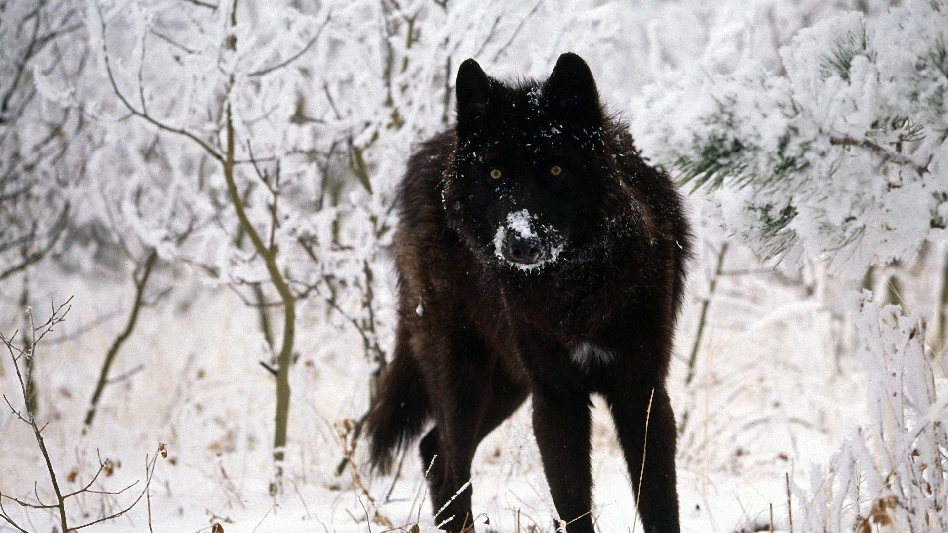 Black wolf winter wallpaper | 1920x1080 | 568906 | WallpaperUP