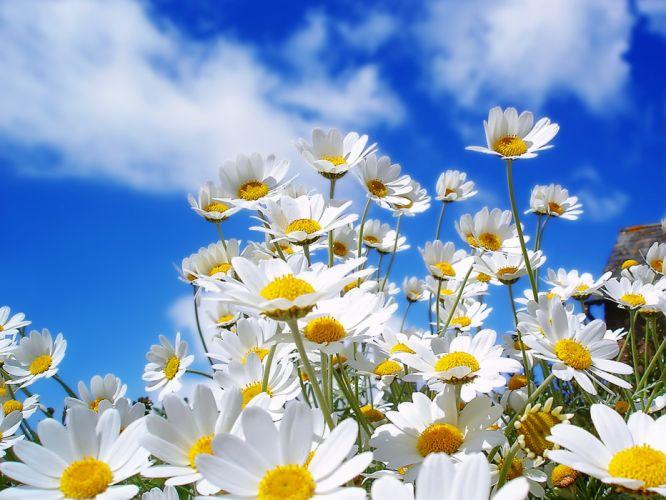 daisy flower summer mood sky cloud wallpaper