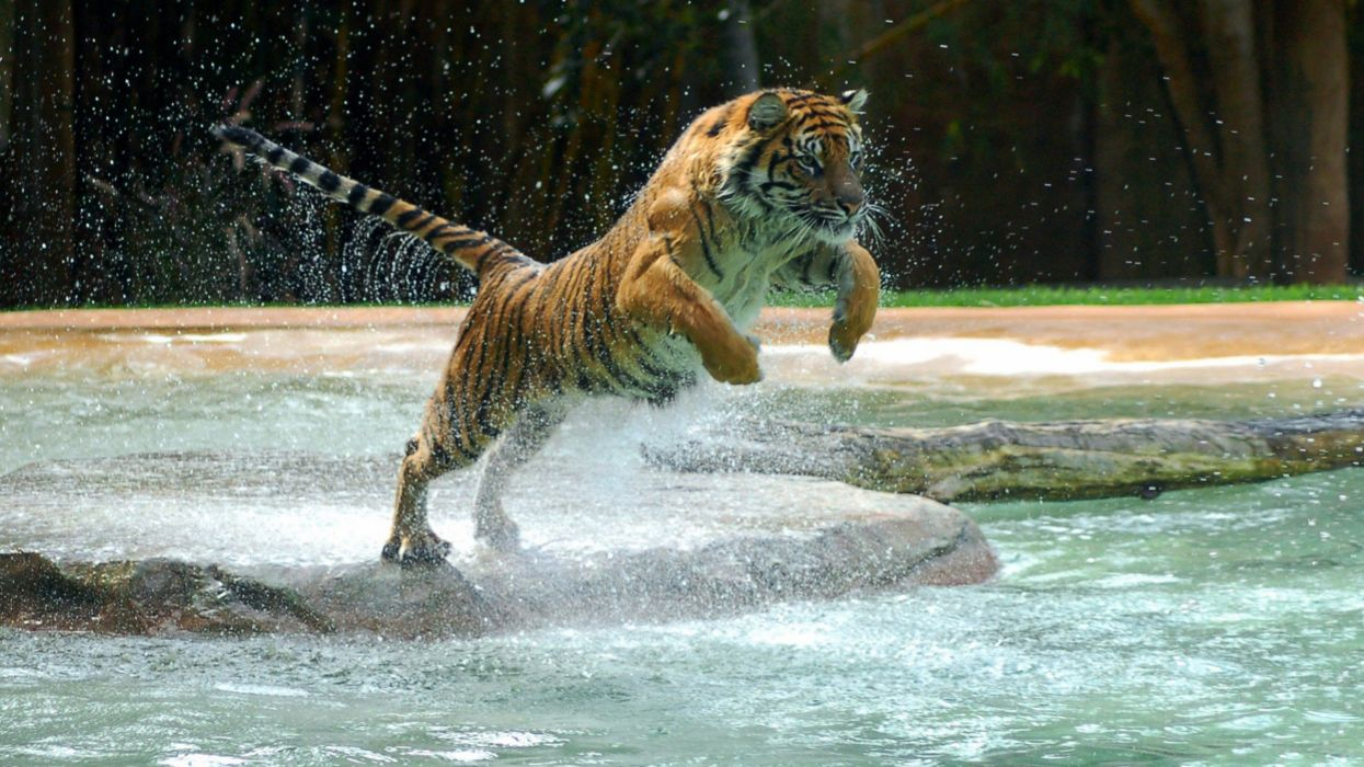 Jumping Tiger wallpaper