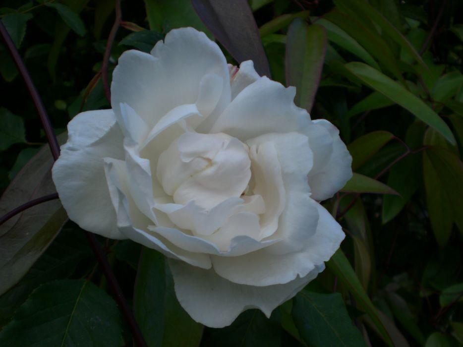 white rose 2003 wallpaper