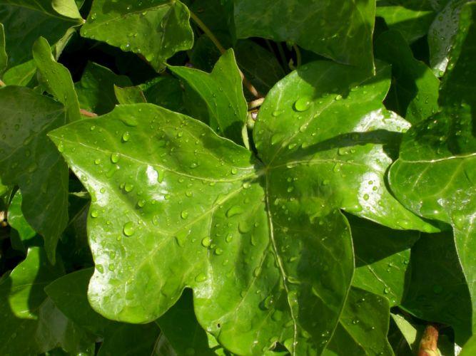 drops on leaves 1 wallpaper