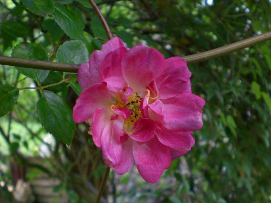 pink rose 2005 wallpaper