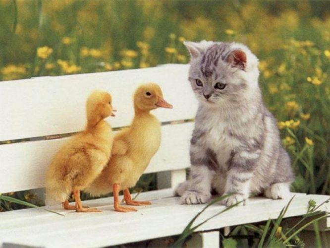 baby animals cat cute duck wallpaper