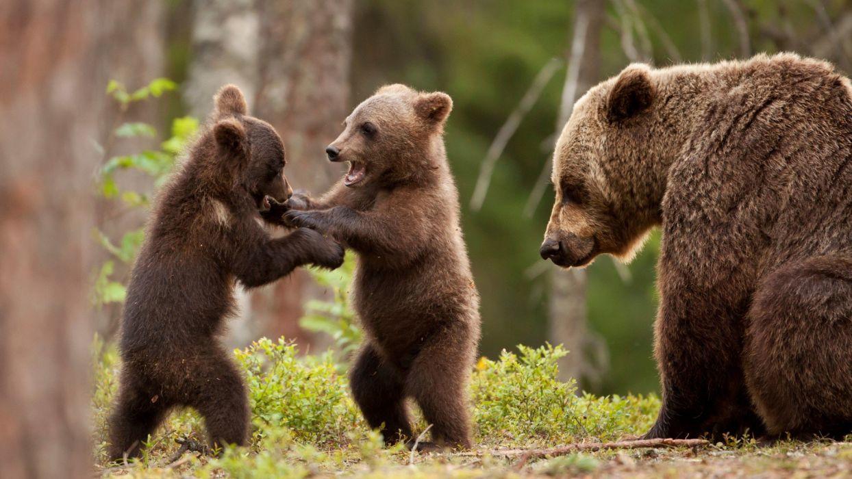 Bear cubs wallpaper