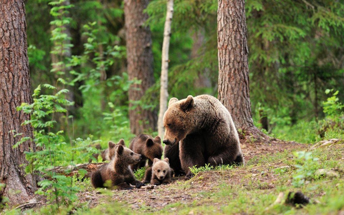 Bear Cub wallpaper