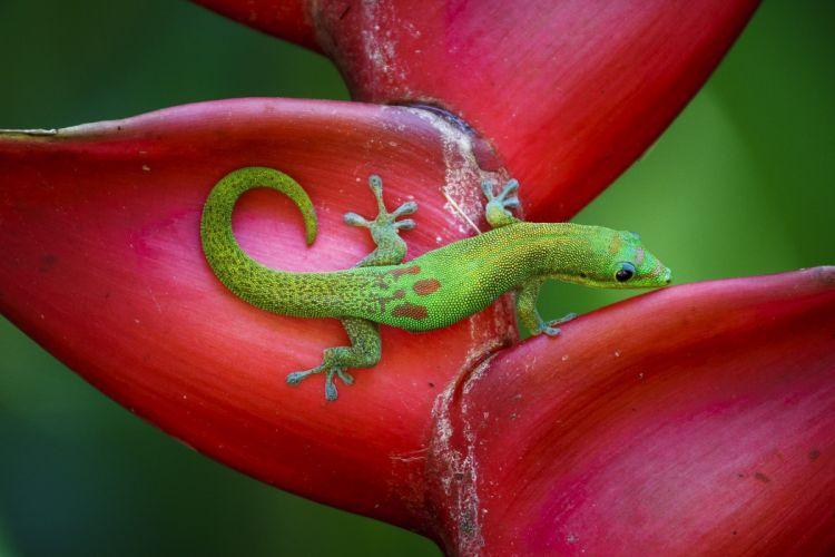 Animals Lizard tropical jungle colorful color green bokeh wallpaper