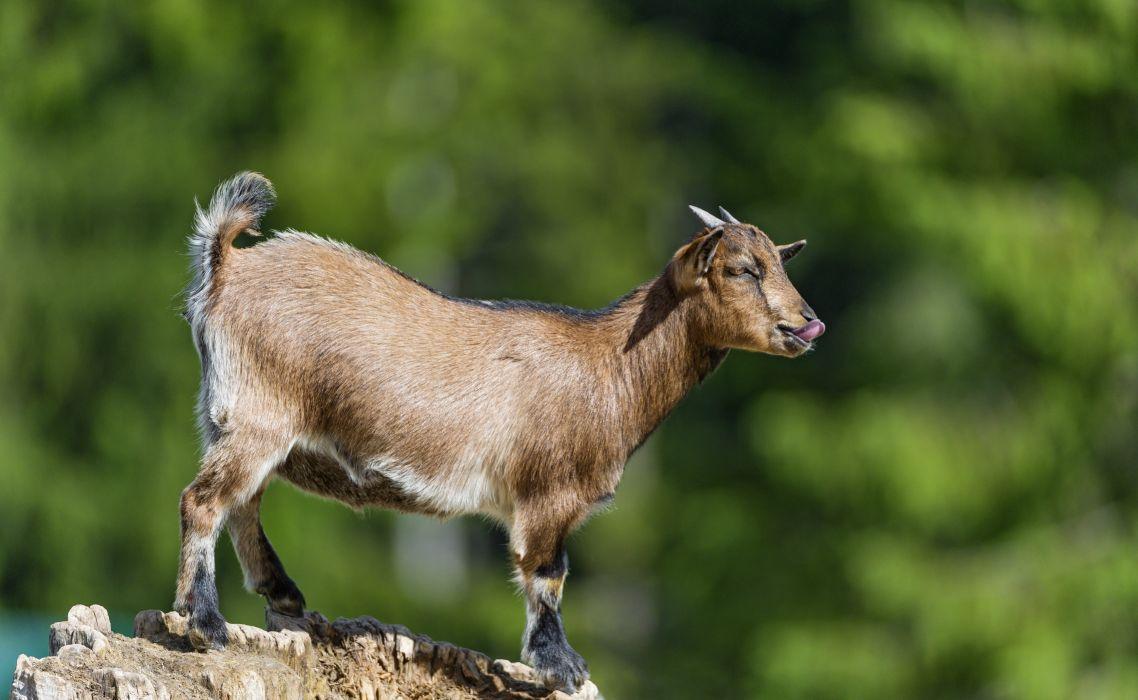 Artiodactyl Other Pets Horns Animal goat goats wallpaper