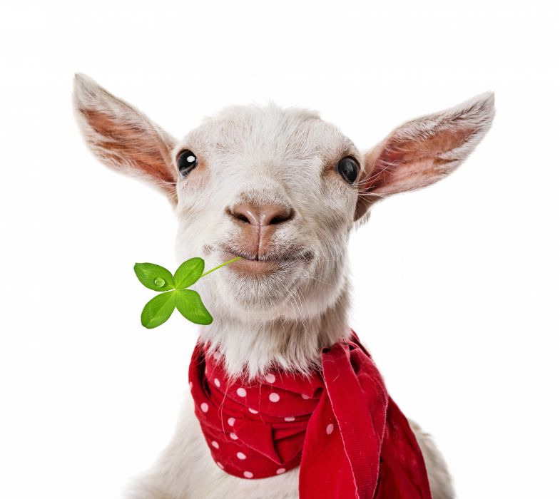 Artiodactyl Other Pets Animals goat irish humor funny sheep wallpaper