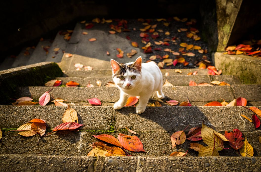 autumn stairs leaves cat wallpaper