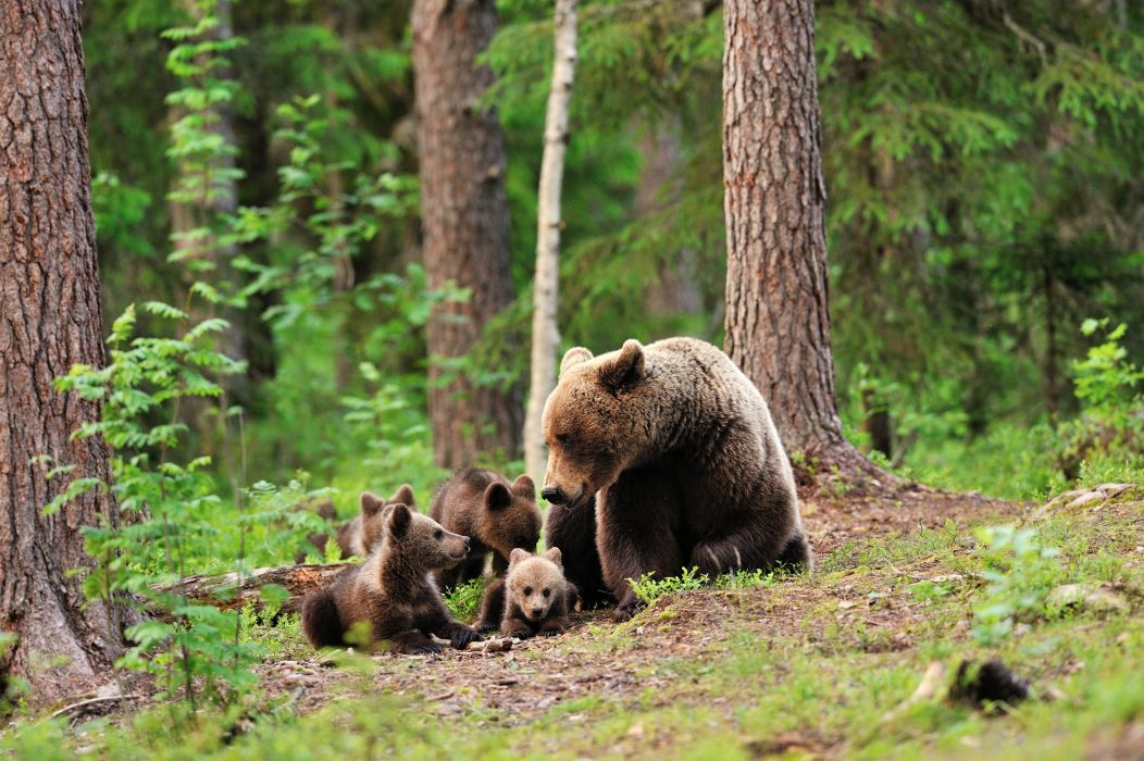 bear bears forest trees baby cub cubs mother family cute love wallpaper