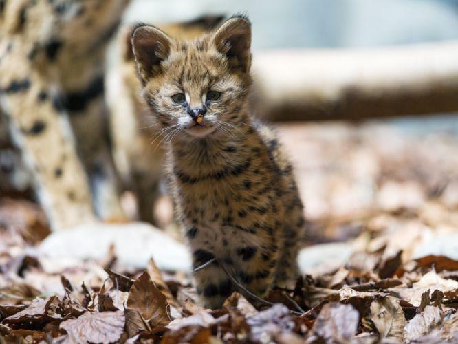 Big cats Leptailurus serval Glance Animals baby kitten cute wallpaper