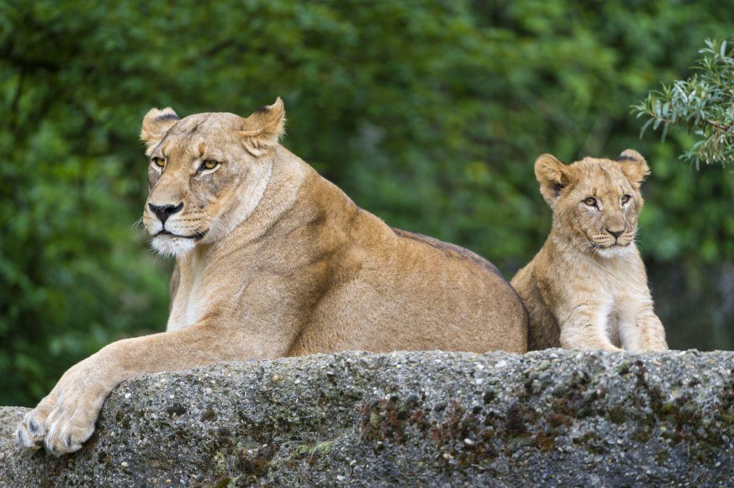 Big cats Lions Cubs Animals lion cub baby wallpaper