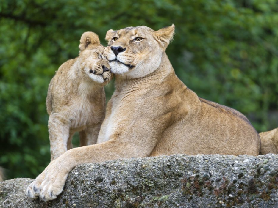 Big cats Lions Cubs Stones Two Animals lion cub baby love mother wallpaper