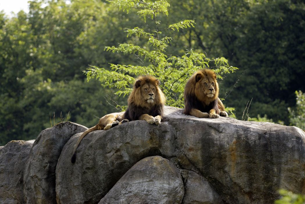 Big cats Lions Stones Two Animal lion wallpaper