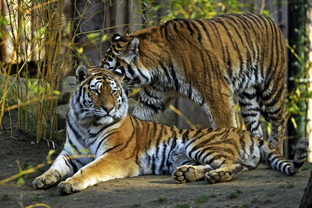 Big cats Tigers Two Animals tiger wallpaper