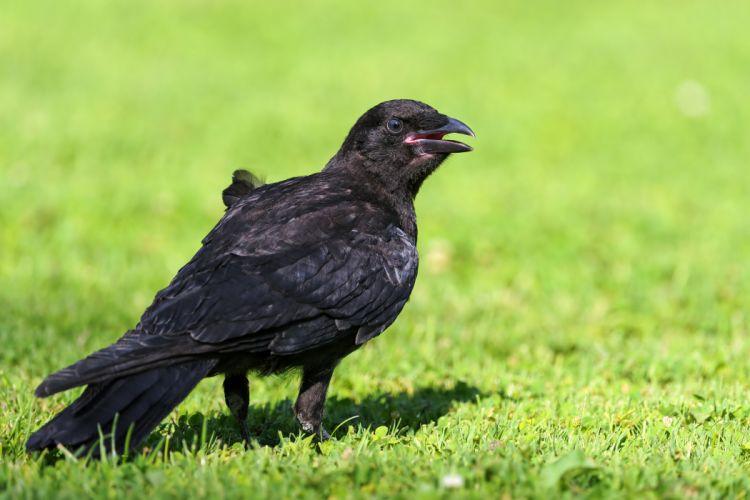 Birds Crows Animals crow wallpaper