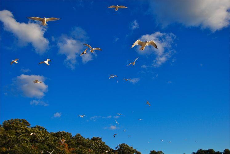 Birds Gull Sky Flight Animals seagull bokeh flight wallpaper