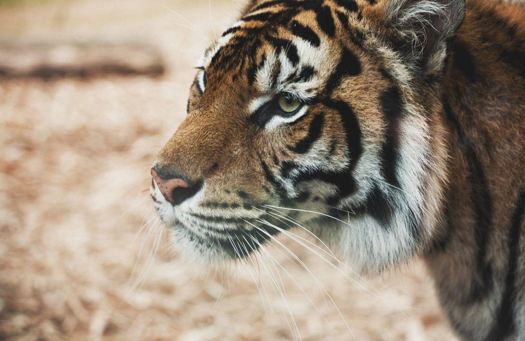 Big cats Tigers Closeup Snout Glance Animals tiger wallpaper