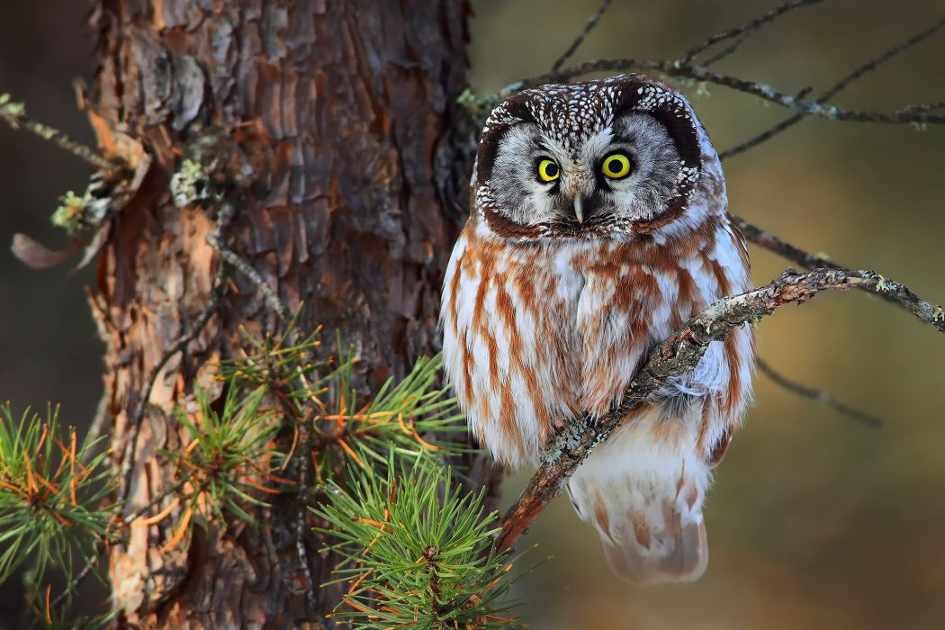 boreal owl forest wallpaper
