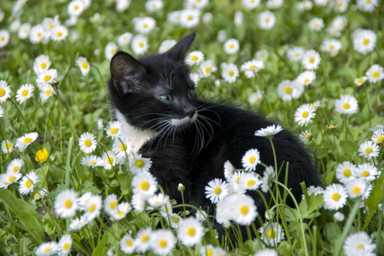 Cats Camomiles Many Kitten Animals Flowers baby bokeh wallpaper