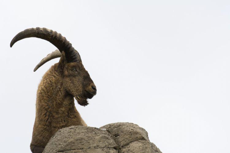 Caucasian tur a mountain goat horns profile mountains look wallpaper