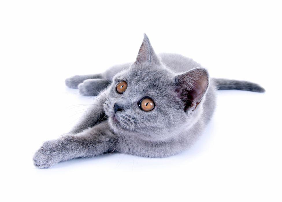 Cats Grey Glance Animals fabe eyes eye wallpaper