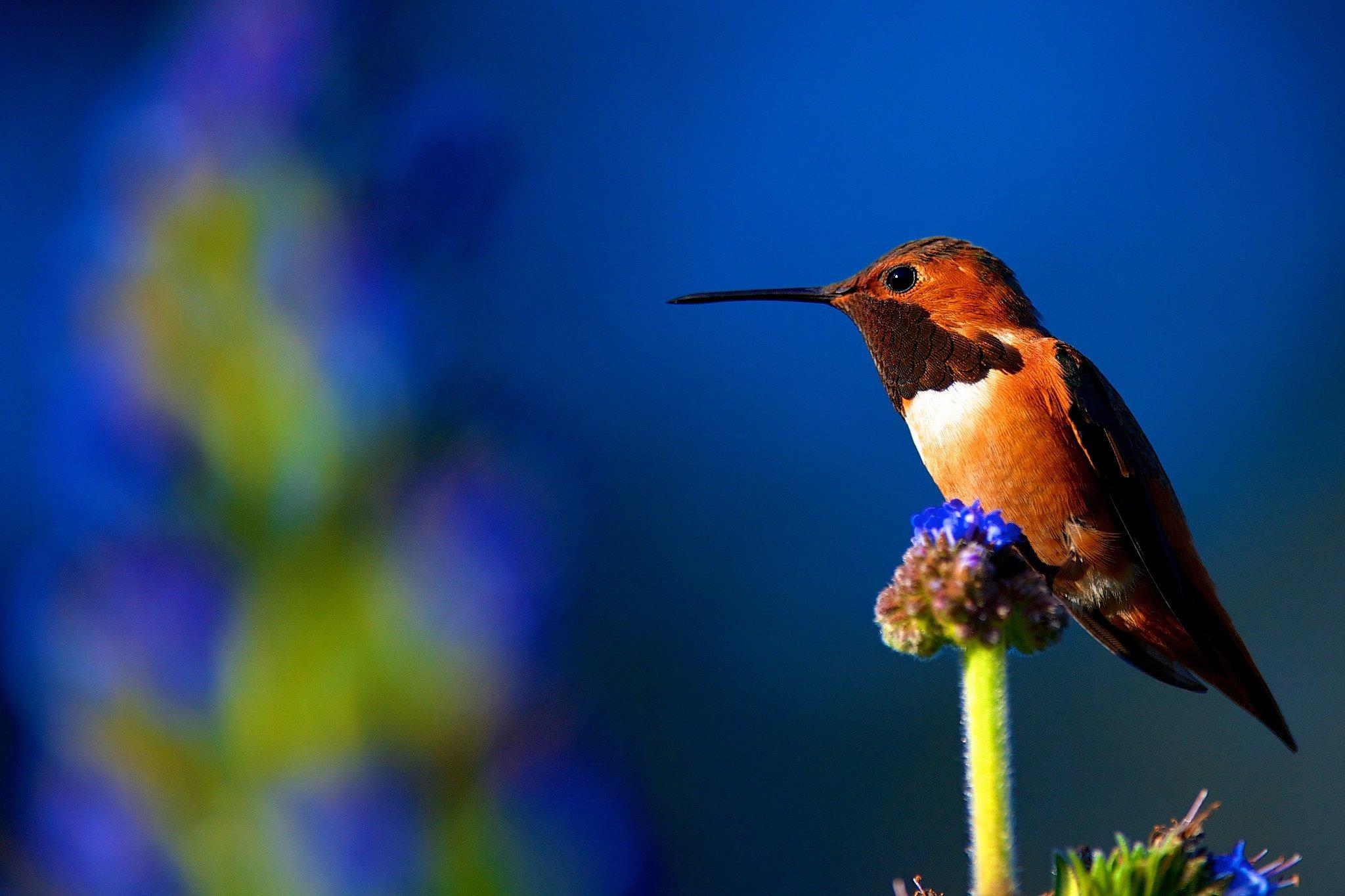 beautiful colibri bird hd - photo #17