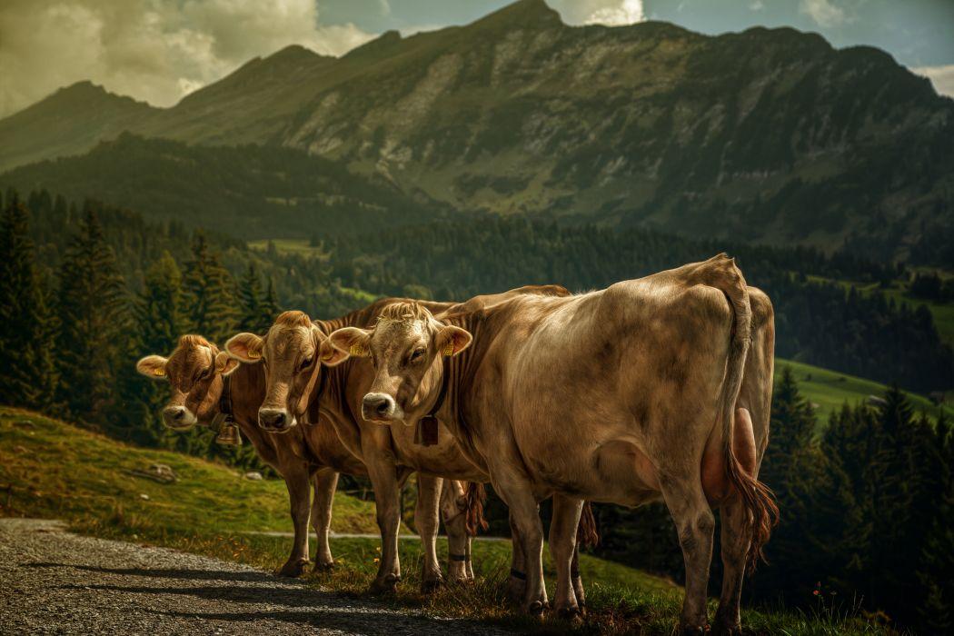 Cow Three 3 Animals mountains wallpaper