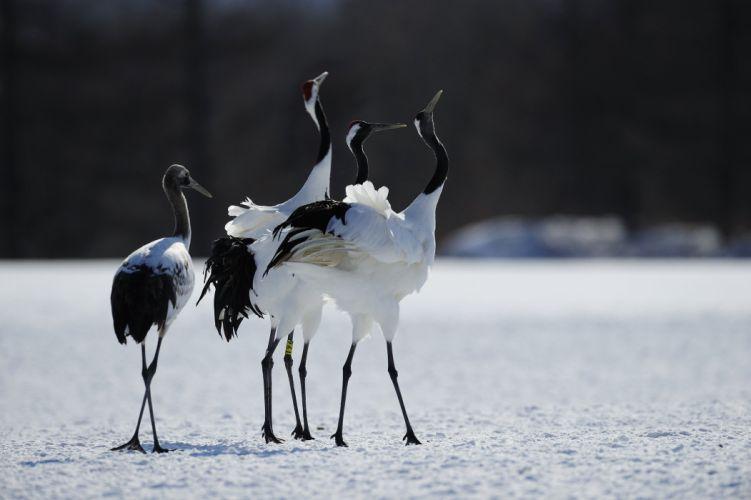 Crane Animals heron winter flock dancing dance wallpaper